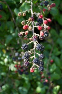 blackberries on bush