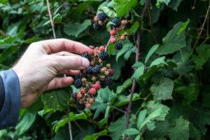An Adventure Just Outside the Back Door - picking blackberries