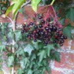Foraging - elderberries