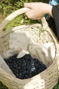 Picking sloes for sloe gin