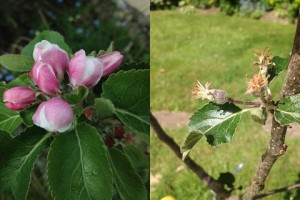Lord Lambourn apple blossom and growing