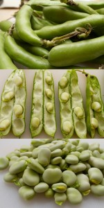 preparing the broad beans