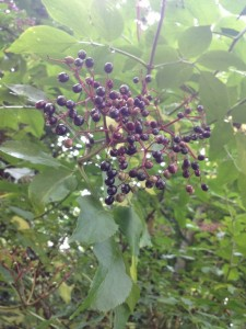 Elderberries growing