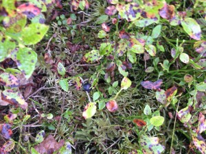 wild blueberries in Wales
