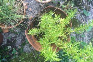 Growing Herbs - Rosemary