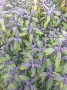 Growing Herbs - Sage