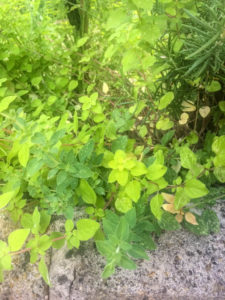 Growing Herbs - Greek Oregano and Marjoram