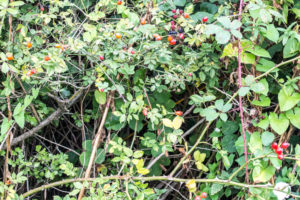 An Adventure Just Outside the Back Door - Rosehips